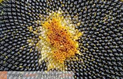 Graines de tournesol: avantages et inconvénients